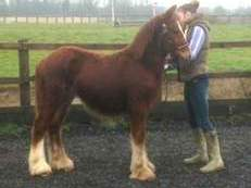 ERNIES TALE- gelding to make 14.2-15hh