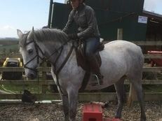 Stunning Clover Hill 6 yr old Grey 15.2 hh