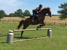 Stunning 4 years old ISH mare