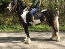 Stunning 6yo tri coloured riding mare