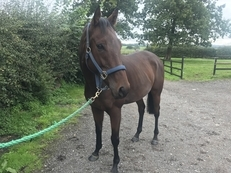 16.2HH EX-RACEHORSE 7 YEAR OLD BAY GELDING FOR SALE