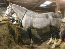 Pure Irish Draught Mare, Proven Hunter