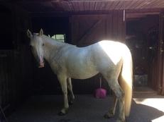14.2 sweet natured arab mare for sale