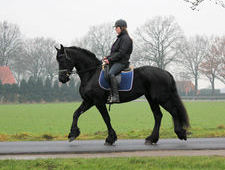 Friesian Ster mare