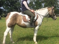Allrounder Irish Mare for Sale, Dorset