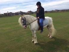 Tommy blue boy 9 year old cob gelding 13.2hh