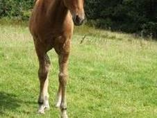 Beautiful Quarter Horse Filly