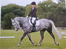 Gorgeous 15.2 Connrmara Horse for sale
