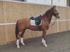 For sale young dressage horse