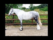 Beautiful 15. 2 hh mare
