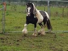Quality Welsh Part Coloured Stallion 14.2hh
