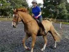 16. 2hh smart chestnut gelding TB x Sect D 6 y. o wasted
