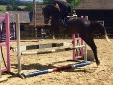 Amazing Opportunity four years Warmblood top quality