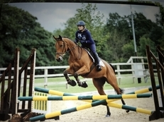 ALL ROUND 15.3HH IRISH SPORTS HORSE