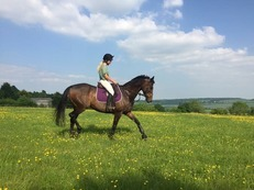 16.2hh 9 year old tb mare