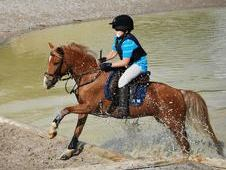 12. 2hh Chestnut Gelding only to 5 star home