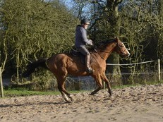 Free to a good home 16h TB gelding 15 years old.