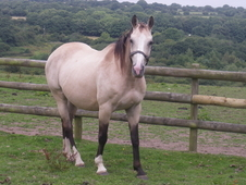 Pretty dun mare with a wonderful temperament
