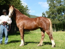 Craigieburn Autumn Gold. Welsh Sec. D gelding (2 yr old)