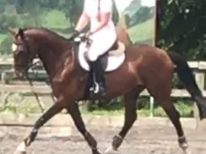 15.3hh KWPN mare - fully papered