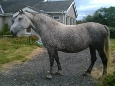 Polish Warmblood Mare