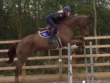 Superb top level Riding Club All-Rounder/Showhunter