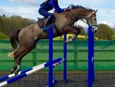 Sharer wanted for showjumper