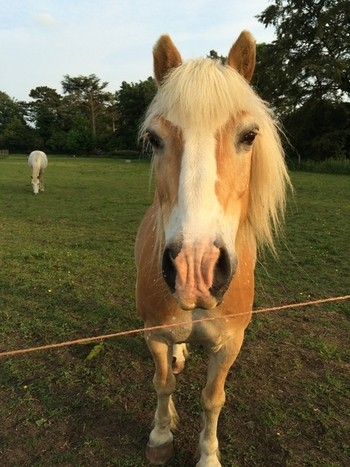 13.1hh haflinger looking for loving home