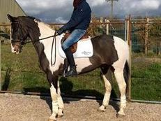 16.2 Coloured Irish Gelding