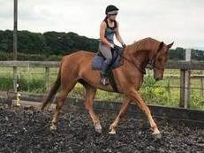 17.1hh 5yr old dressage horse