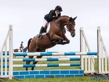 Absolutely stunning blanket spot 7 year old Irish Sport Horse
