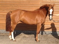 Beautiful sweet natured 6yo 14.2hh project pony for sale. Pony club/eventer potential. Connemara X chestnut mare
