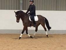 ** Quality 10yr 16. 1hh Belgium Warmblood **
