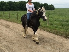 Super cute mini cob gelding