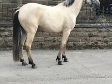 Cream Dun Dark points Connemara 3 year old Gelding
