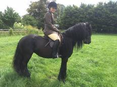 The Appletree Lilly, registered fell pony mare
