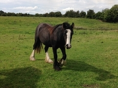 Elite Irish Cob 2 Year Gypsy Vanner Filly