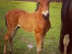Beautiful PRE Andalusian X Filly