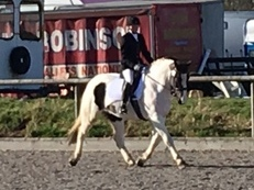 15.2HH 6yr old coloured cob gelding