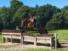 Amber - 16hh 5yo British bred chestnut mare out of a Chacco Blue ...