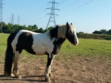 14. 3hh coloured mare