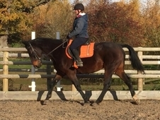 Very Loving 16. 2HH Bay ISH Mare
