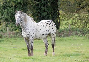 Leopard Spot Horses for Sale | Horsemart
