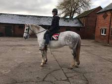 Stunning 15. 2HH Registered Irish Draught mare