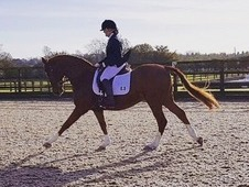 Fabulous dressage horse/ all rounder