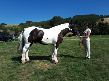 Athletic 15.3hh Cob
