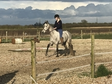PRE Andalusian Mare 6yrs old 15hh