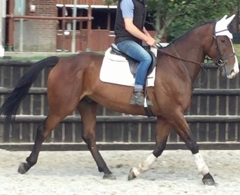 Potential Event/ Dressage Gelding , For Sale Dorset