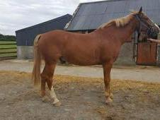 17. 1hh Clover Hill/Huntingfield Rebel 9yr Old. Has hunted