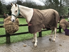Palomino gelding rising 3 years for loan 15. 1hh to make 16. 2hh ...